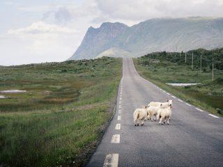 White animals on the road - Mika Korhonen