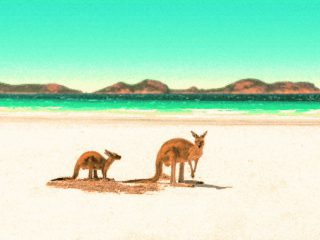 Kangaroes op het strand